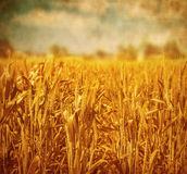 Wheat field landscape Royalty Free Stock Photography