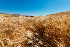 Wheat Field – `Campo di Grano` royalty free stock photos