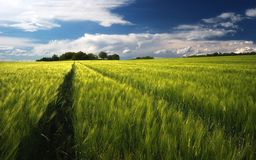 Wheat field landscape and cloudy sky stock photo