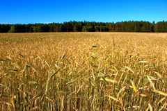 Wheat field landscape stock images