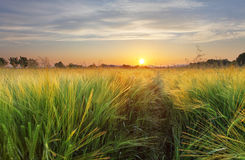 Wheat field landscape with path in the sunset time Royalty Free Stock Image