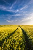 Wheat field landscape with path in the sunset time stock images