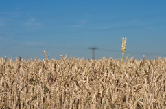 Wheat field. Landscape photo of wheat ears on the wheat field Royalty Free Stock Photos