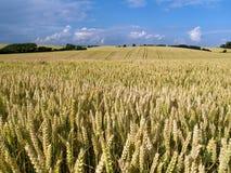 Wheat Field Landscpae Stock Photo