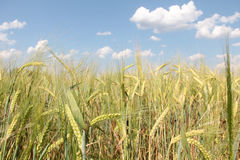 Wheat on field Royalty Free Stock Images