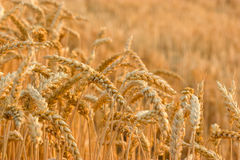 Wheat field in late afternoon Royalty Free Stock Photography