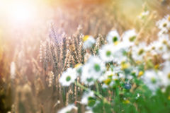 Wheat field in late afternoon Stock Photography