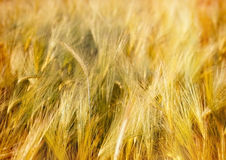 Wheat field in late afternoon Stock Images