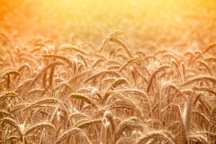 Wheat field in late afternoon Royalty Free Stock Photo