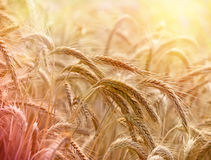 Wheat field in late afternoon Stock Photo