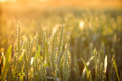 Wheat field in late afternoon Royalty Free Stock Photos