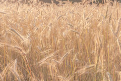 Wheat field in late afternoon summer sunshine Stock Photos