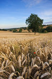 Wheat field in late summer Stock Photography