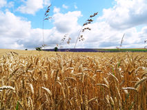 Wheat field. Harvest is ready to be cut. It is something extraordinary to visit this fabulous lavender field in England. The place is full of colours royalty free stock images