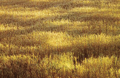 Wheat field -lights and shadows. The light of evening ina wheat field Royalty Free Stock Photo