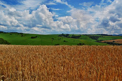 Wheat. Field in Liptov. Slovakia Royalty Free Stock Images