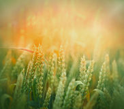 Wheat field lit by sunlight Stock Photography