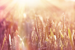 Wheat field lit by sunlight Stock Photos
