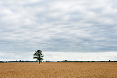 Wheat Field and Lonely Green Tree in Background. Stock Images