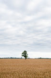 Wheat Field and Lonely Green Tree in Background. Royalty Free Stock Photos