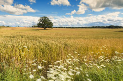 Wheat field with lonely oak tree Royalty Free Stock Photo