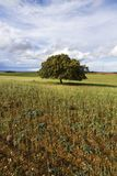 Wheat field with lonely tree. View of a young plantation of wheat cereal with a lonely tree royalty free stock image