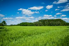 Wheat Field with lovely clouds. Typical summer landscape, forest, blue sky, clouds Royalty Free Stock Photos
