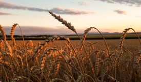 Wheat field in lower austria stock images