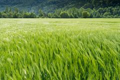 Wheat field in lustrous green and a slight wind with tractor tracks and forest behind. A view of a wheat field in lustrous green and a slight wind with tractor Stock Photography