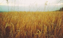 Wheat field in Macedonia Royalty Free Stock Photos