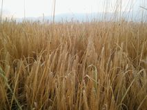 Wheat field in Macedonia Stock Photos