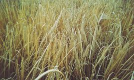 Wheat field in Macedonia Royalty Free Stock Photo