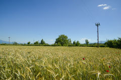Wheat field in Macedonia Stock Images