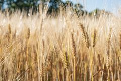 Wheat field macro. Bright golden wheat field in summer sunlight Royalty Free Stock Images