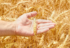 Wheat field and male hand holding cone Royalty Free Stock Photos