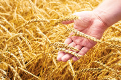 Wheat field and male hand holding cone in summer day Stock Photos
