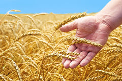Wheat field and male hand holding cone in summer day Royalty Free Stock Photo