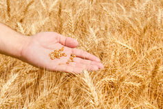 Wheat field and male hand Royalty Free Stock Image