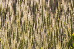 Wheat field maturation Tuscany Italy Royalty Free Stock Photo