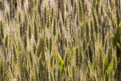 Wheat field maturation Tuscany Italy Royalty Free Stock Image