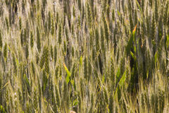 Wheat field maturation Tuscany Italy Stock Photo
