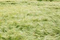 Wheat on the field Stock Photo