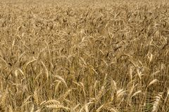 Wheat field in the middle of the summer. Wheat yellow field, top view Royalty Free Stock Images