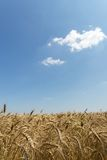 Wheat field in the middle of the summer. Wheat yellow field under blue sky Royalty Free Stock Image