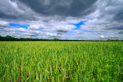 Wheat field in the Midwest Royalty Free Stock Photos