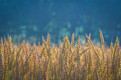 In a wheat field. A wheat field in Monferrato, Italy Royalty Free Stock Photography