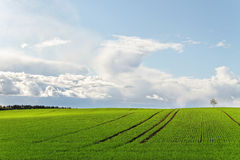 Wheat field. Royalty Free Stock Photography