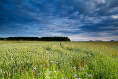 Wheat field in morning light Royalty Free Stock Photography