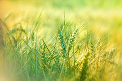 Wheat field in morning Royalty Free Stock Photos