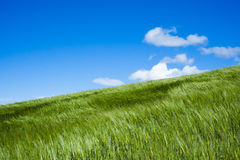 Wheat field moved by wind in spring Royalty Free Stock Image